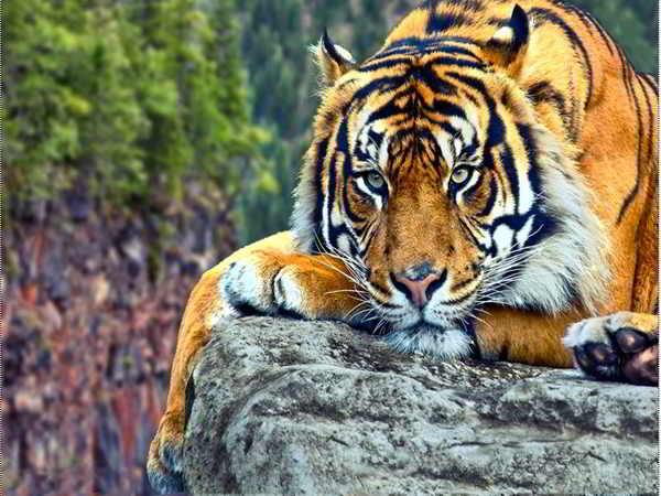 Ngủ mơ thấy hổ có điềm báo gì?
