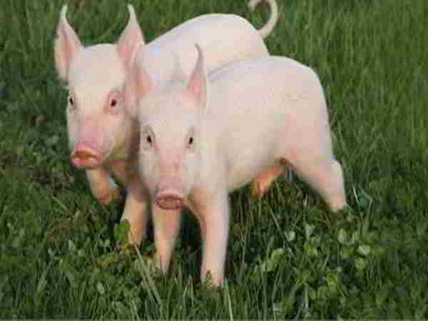 Giải mã giấc mơ thấy lợn nên đánh con gì?