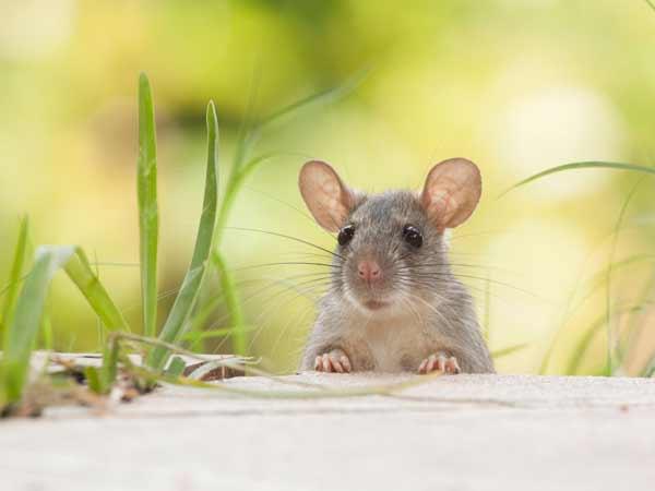Chuột vào nhà có điềm báo gì? tốt hay xấu?