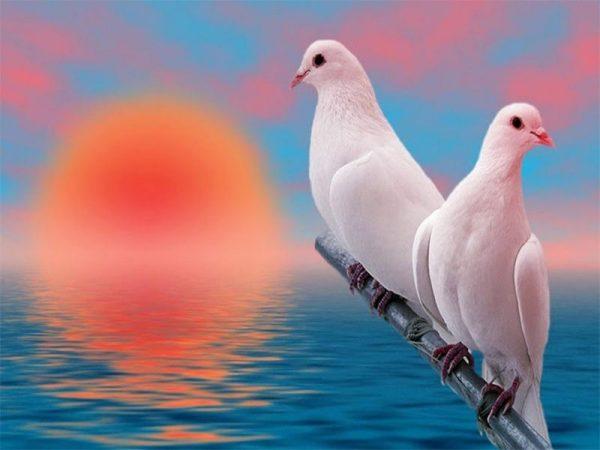 Chim bồ câu bay vào nhà có điềm báo gì? Xấu hay tốt?