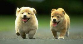 Chó chạy vào nhà có điềm báo gì? hên hay xui?