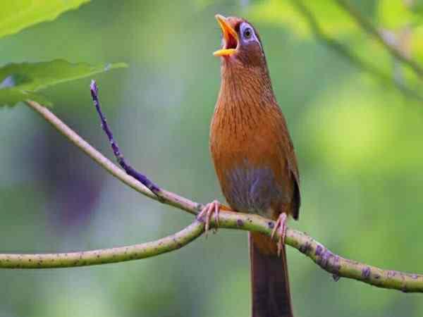 Tiếng chim khách kêu có điềm báo gì? tốt hay xấu?
